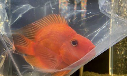 人馴れしやすい熱帯魚。キングコングパロットファイヤーとは。