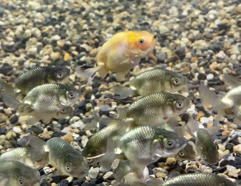 ◆らんちゅう黒子が届きました。金魚飼育のきっかけにも。